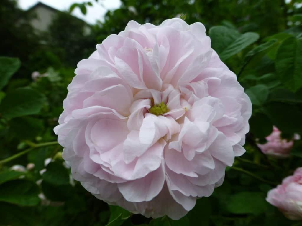 Alba-Rose 'Königin von Dänemark 27.05.2014 017