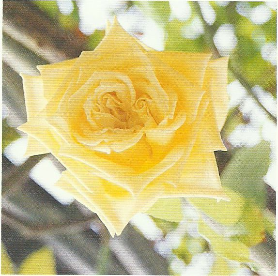 Die gelbe Blüte der Rose Maréchal Niel