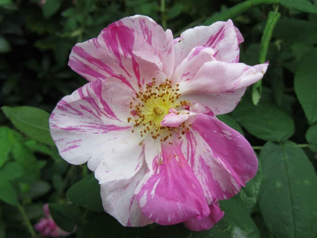 Die Blüte der Rosa gallica 'Rosa Mundi'