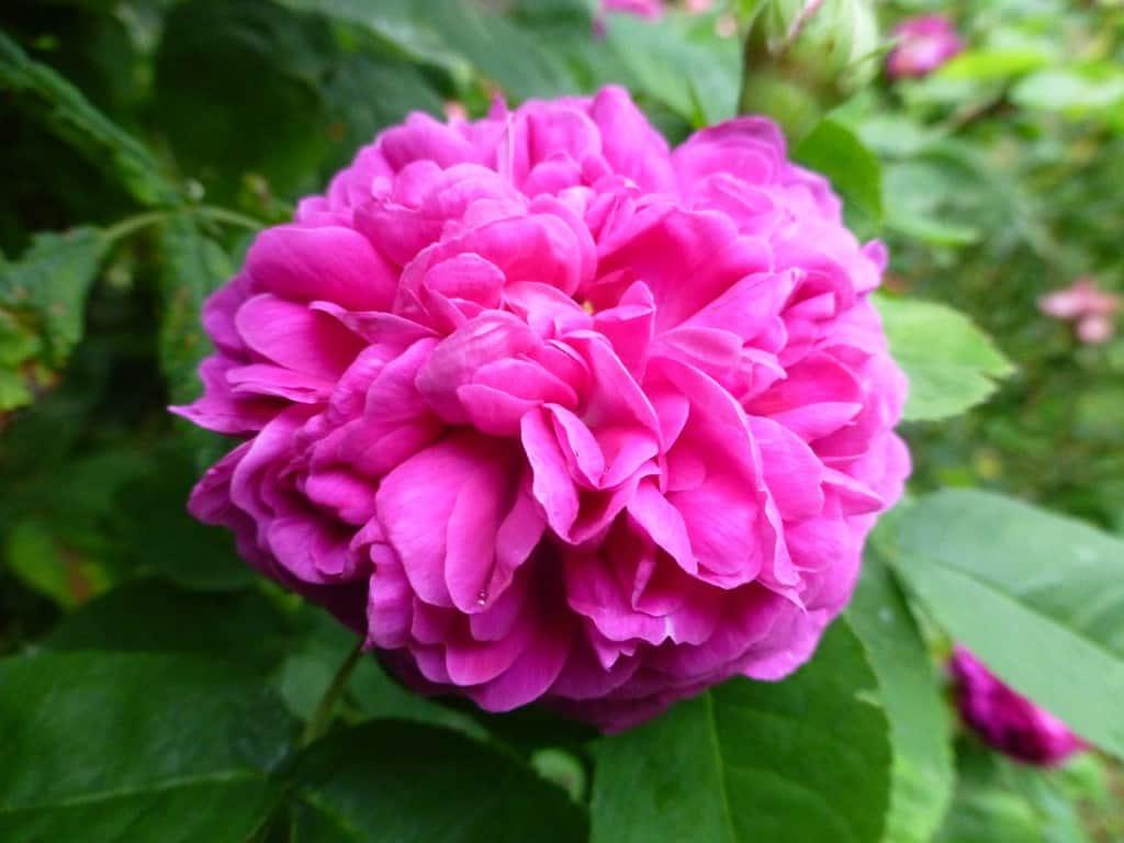 Die Blüte der Rose de Resht