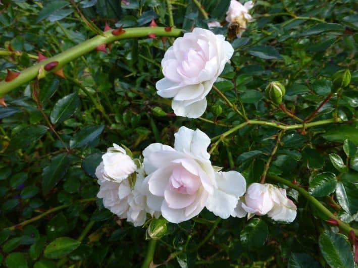 Bodendeckerrose 'Swany' (2)
