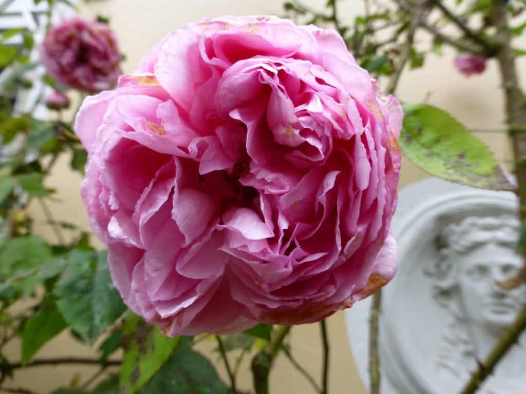 Historische Rosen