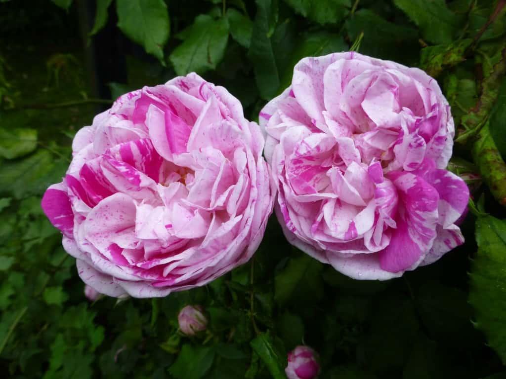 Zwei Blüten einer historischen Rose