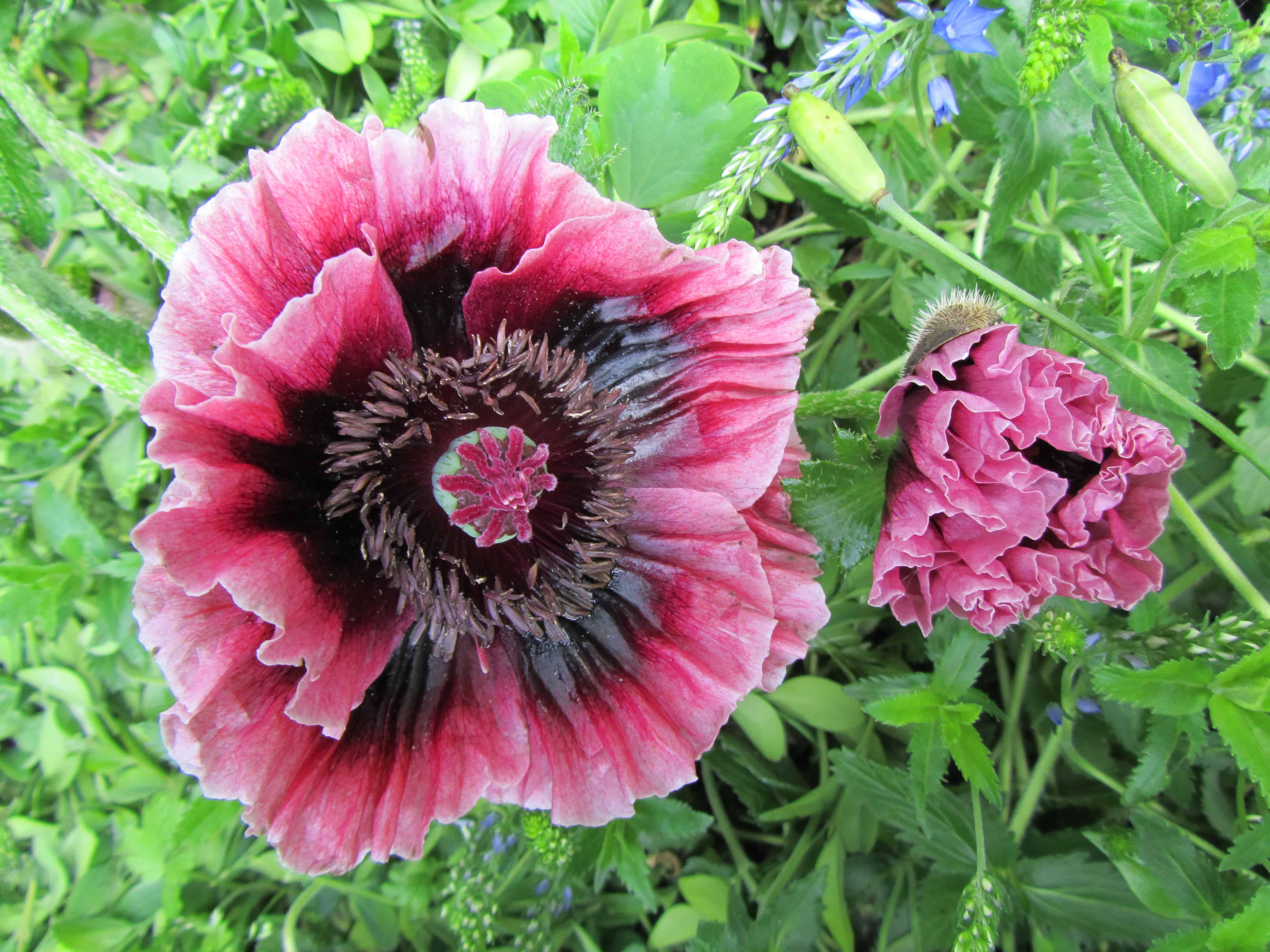 Read more about the article Mohn – Nutz- und Heilpflanze
