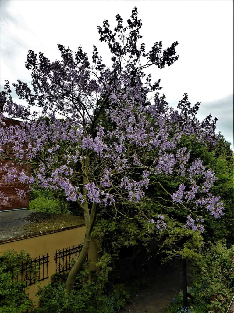Blauglockenbaum in voller Blüte
