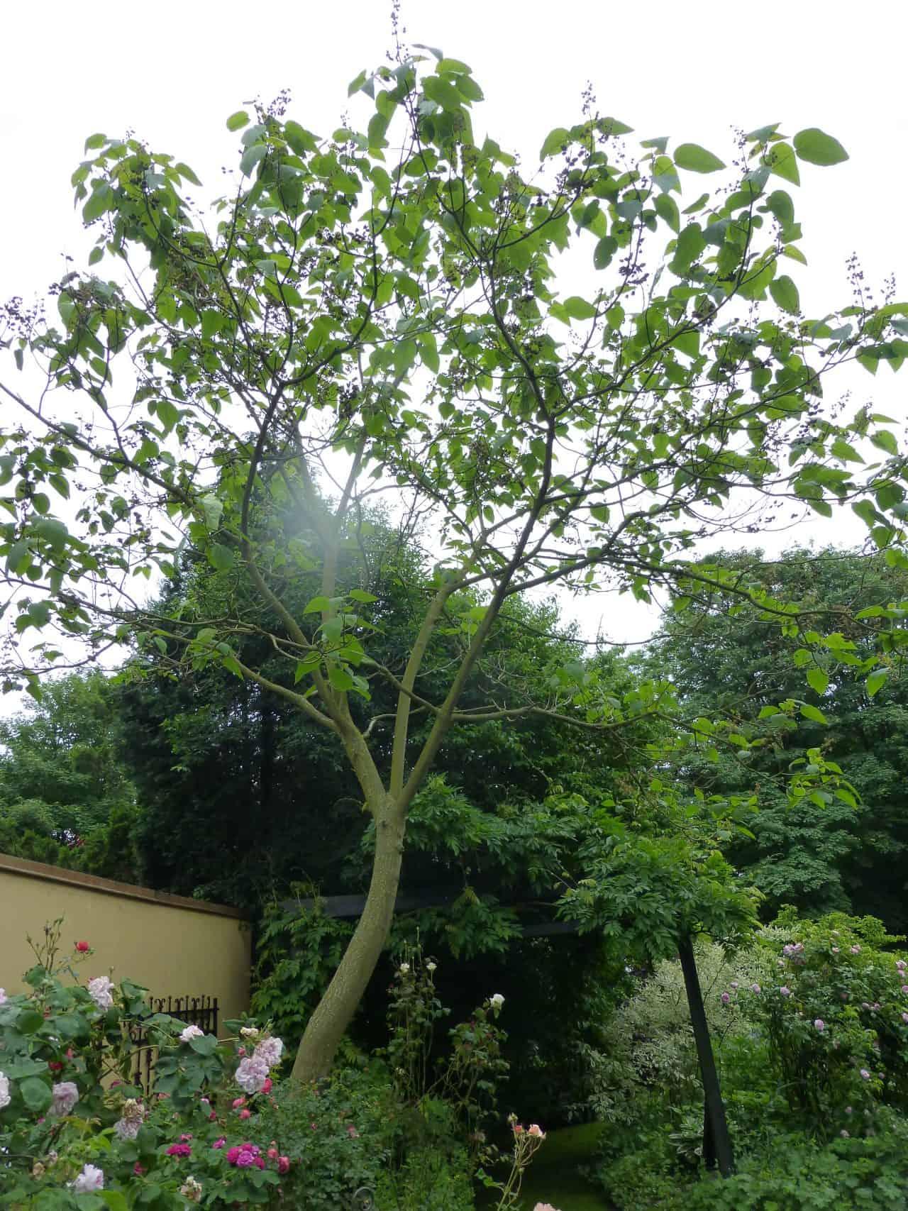 Der Blauglockenbaum