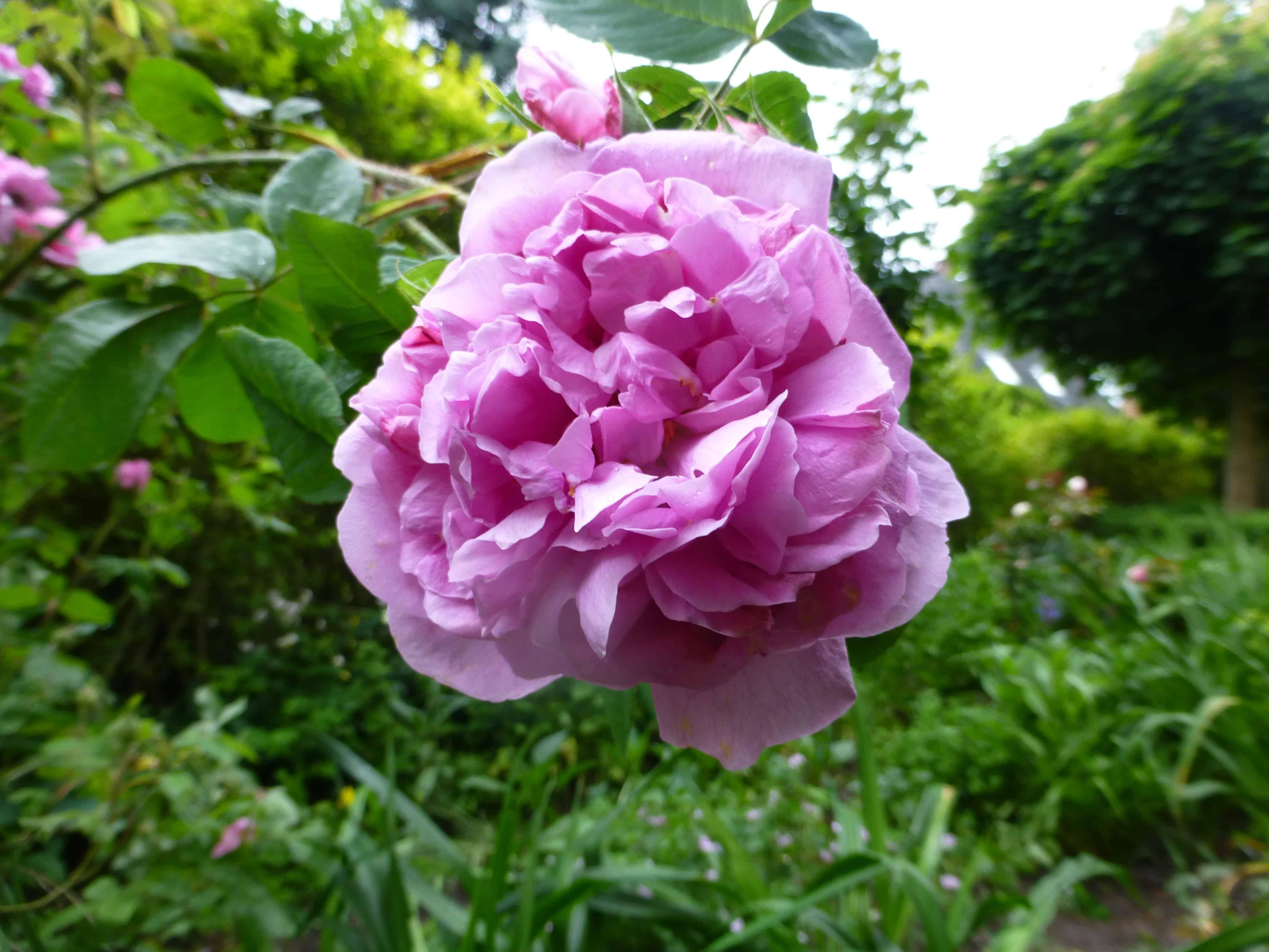 Die Blüte der Rose Portlandrose 'Comte de Chambord'