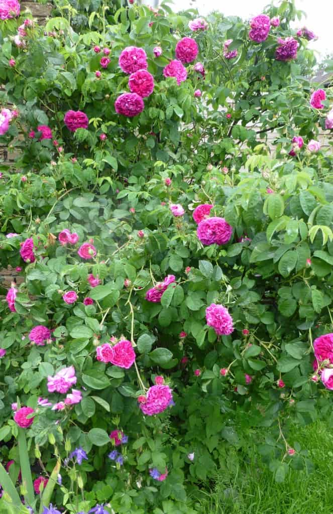 Rosa gallica 'Charles de Mills' 014