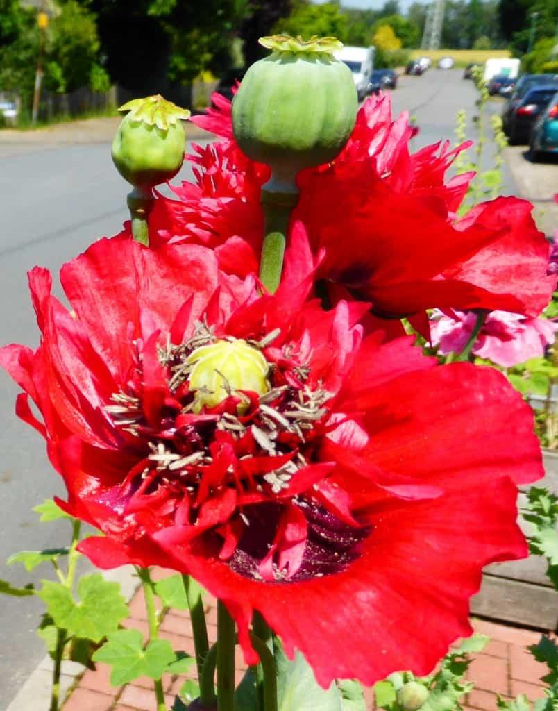 Die roten Blüten des Schlafmohns