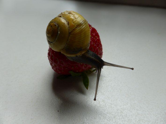 Eine Schnecke sitzt auf einer Erdbeere