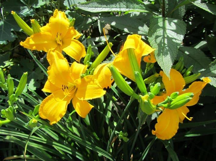 Gelbe Taglilien