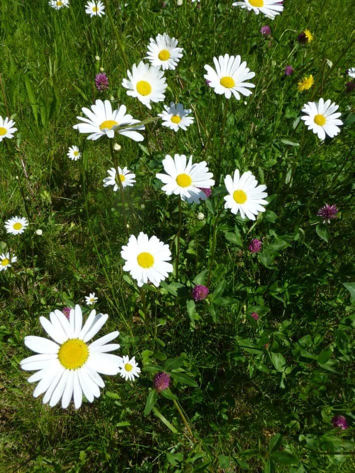 Gänseblümchen auf einer Blumenwiese