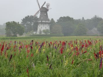 Ein Gladiolenfeld vor einer Windmühle