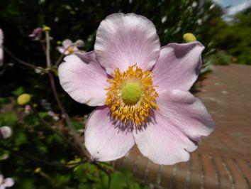 Anemonen für den herbstlichen Garten