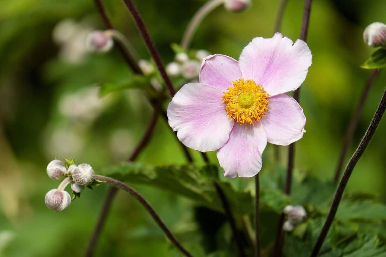 Eine hübsche Anemonenblüte