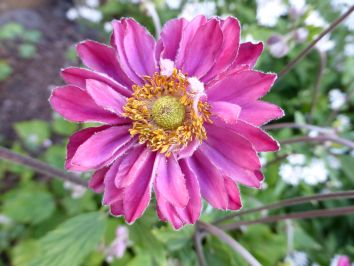 Rosafarbene Anemonenblüte