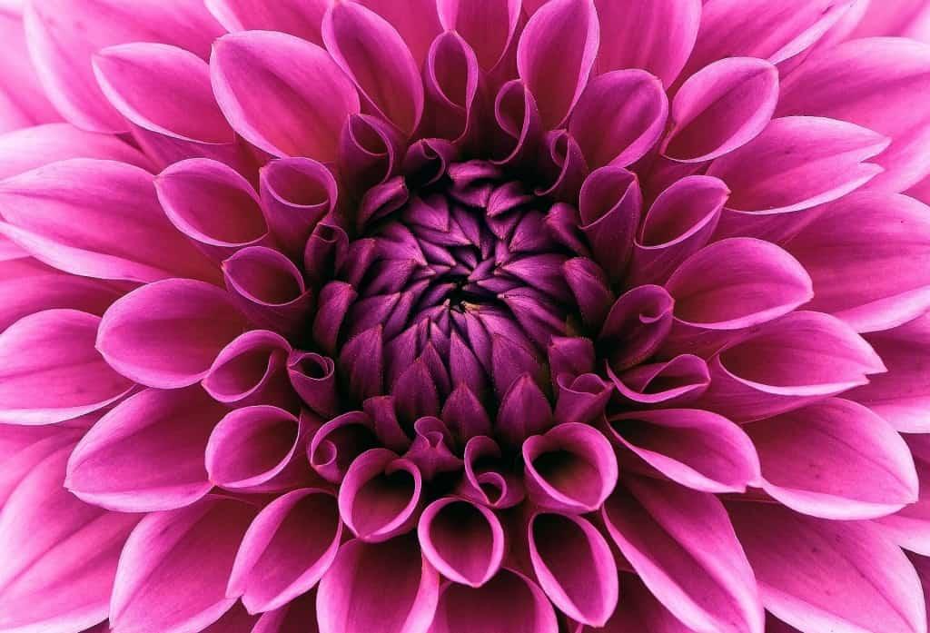 Eine prächtige Dahlienblüte