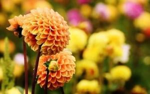 Dahlien richtig anpflanzen und pflegen