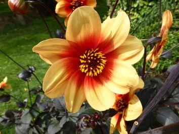 Eine gelbe Dahlienblüte
