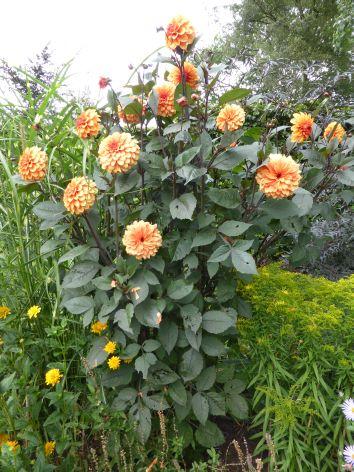 Ein prächtiger Dahlienbusch