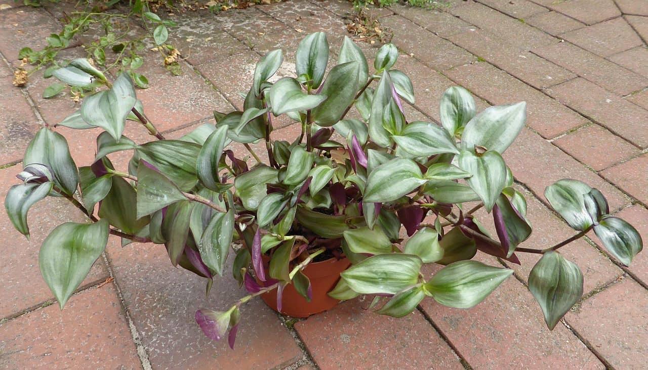 Die Dreimasterblume – ideal für das Beet, den Teichrand oder als Zimmerpflanze