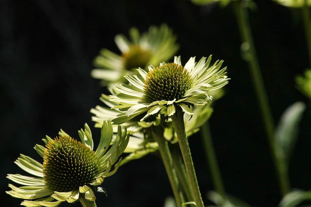 Read more about the article Echinacea – der Sonnenhut aus Amerika