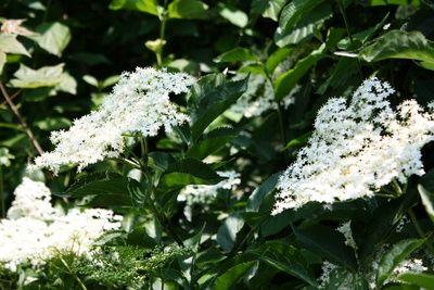 Weiß blühender Holunder