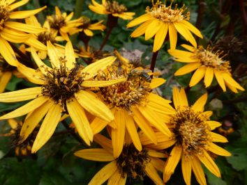 Ligularia-Blüten