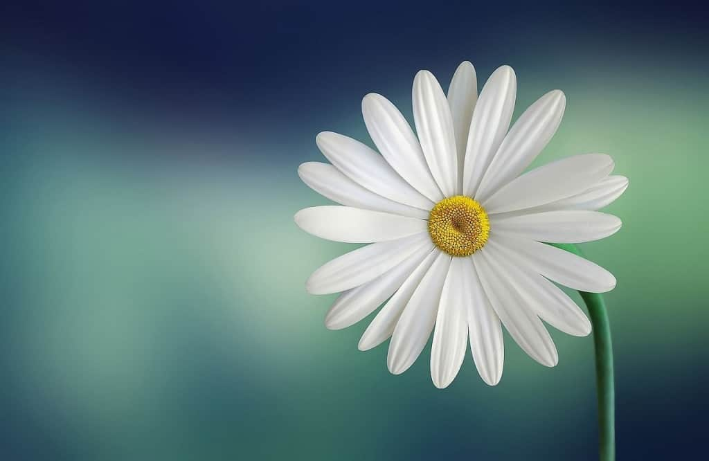Eine prachtvolle Margeritenblüte