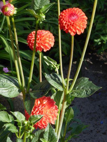 Pompondahlien-Blüten
