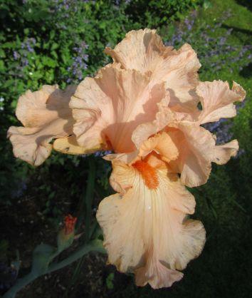 Rosa Iris
