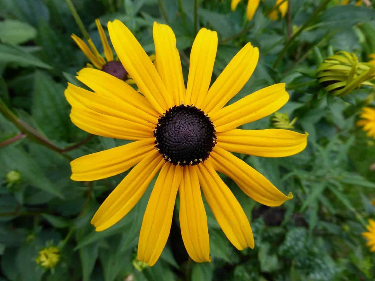 Rudbeckia-Blüte