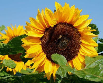 Eine große Sonnenblumenblüte