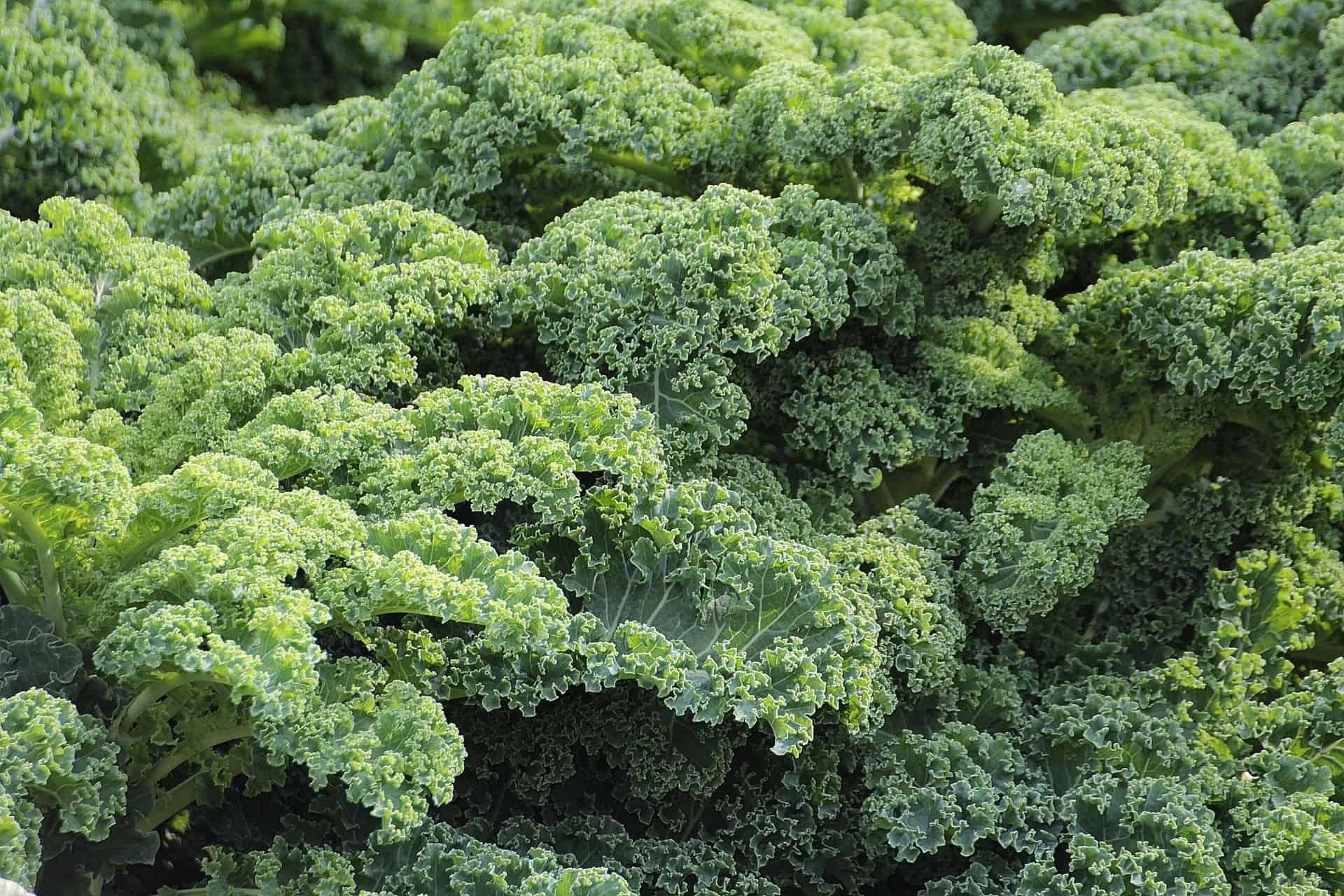 Grünkohl – ein Gemüse mit Kultstatus