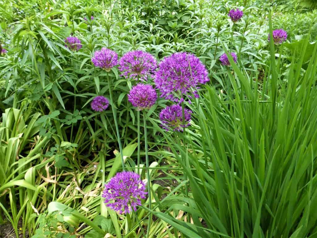 Blühender Allium
