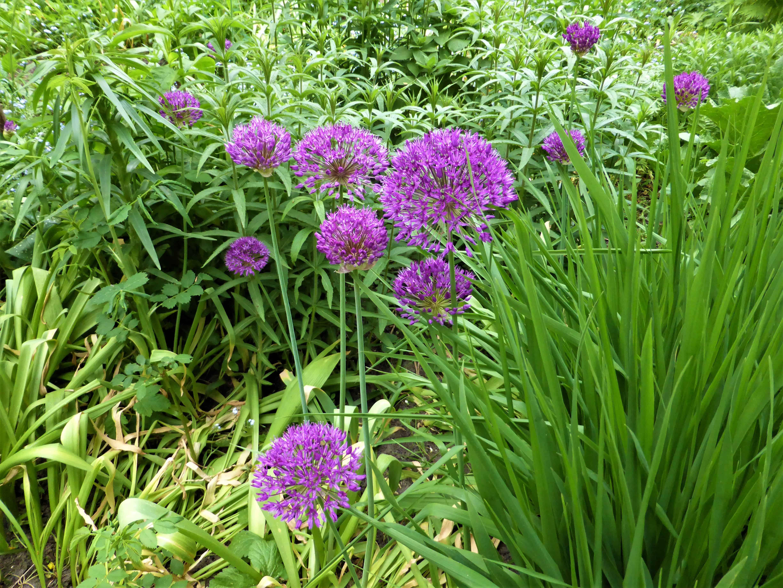 Allium – erlauchte Gartenbewohner