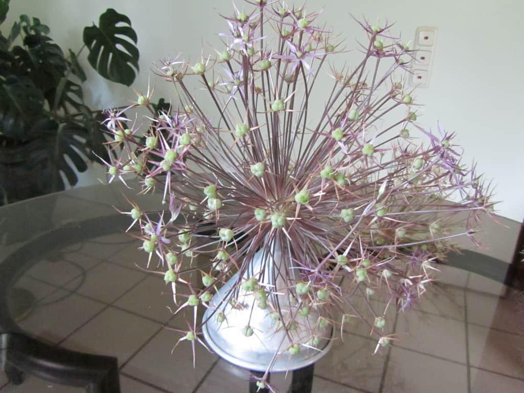 Allium in einer Vase