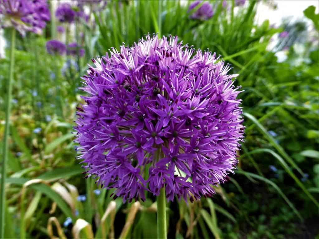 Eine Alliumblüte