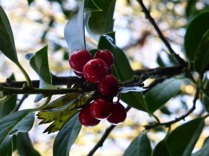 Ilex mit Früchten