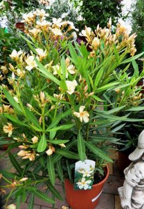 Oleander richtig überwintern lassen