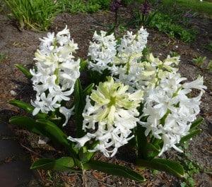 Hyazinthen – winterlicher Zimmerschmuck und Zwiebelblumen für den Frühlingsgarten