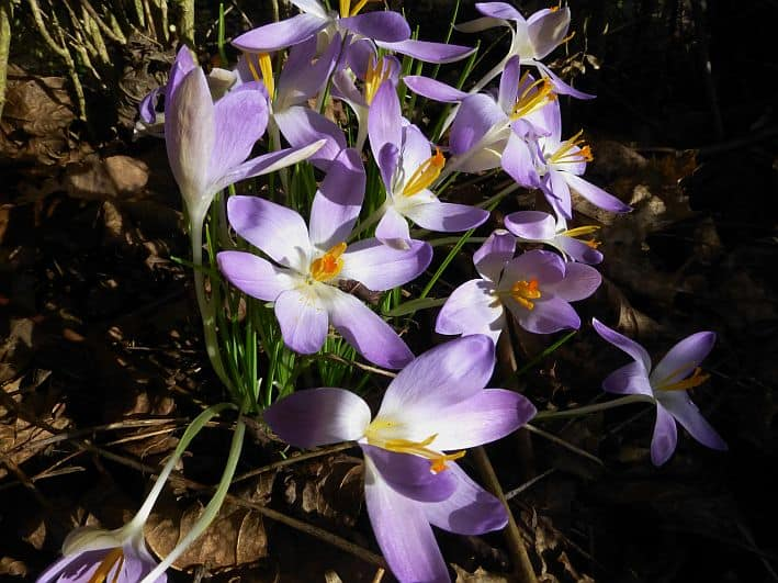 Violett blühende Krokusse