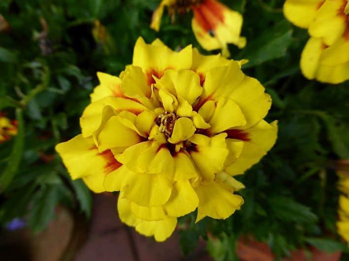 Eine gelbe Tagetesblüte: