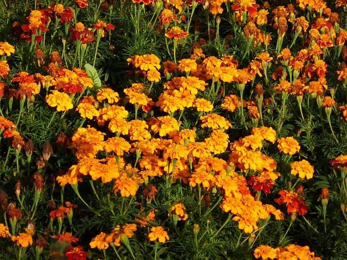 Tagetes – einjährige Sommerblume und aromatisches Gewürz