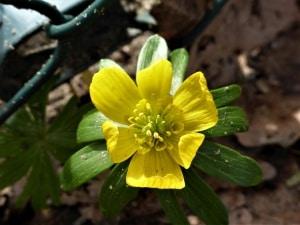 Gelbe Blüte des Winterlings