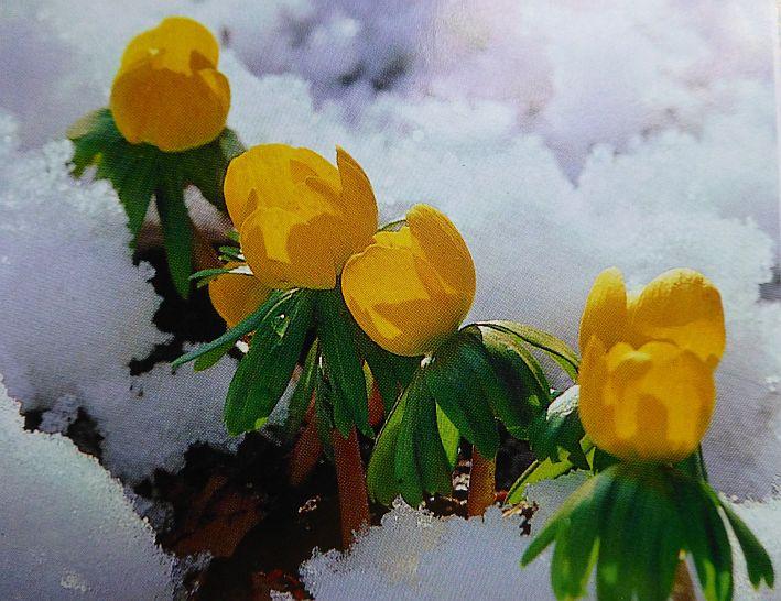 Gezeichnete gelbe Winterlinge im Schnee
