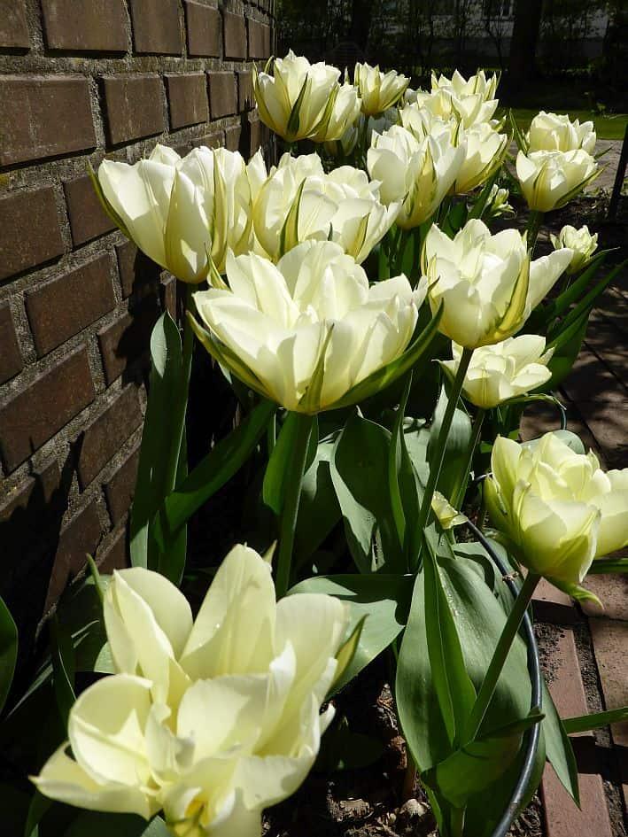 Weiß blühende Tulpen