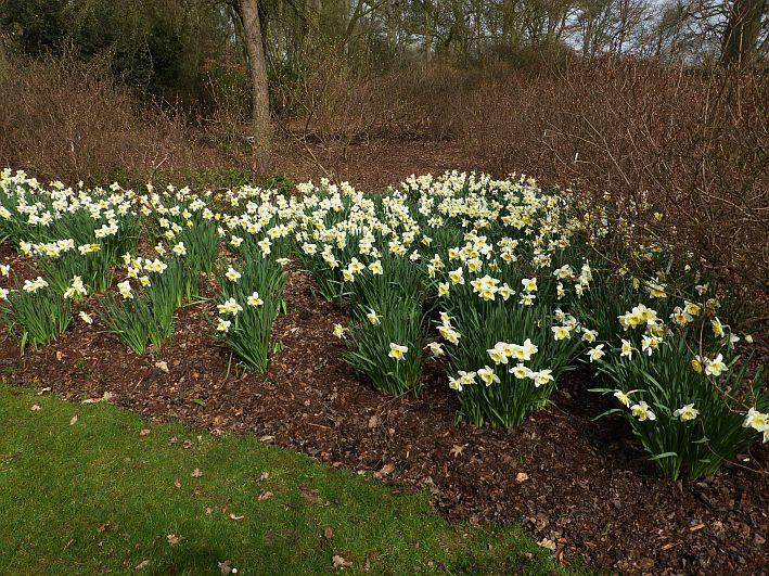 Blühende Narzissen im Park