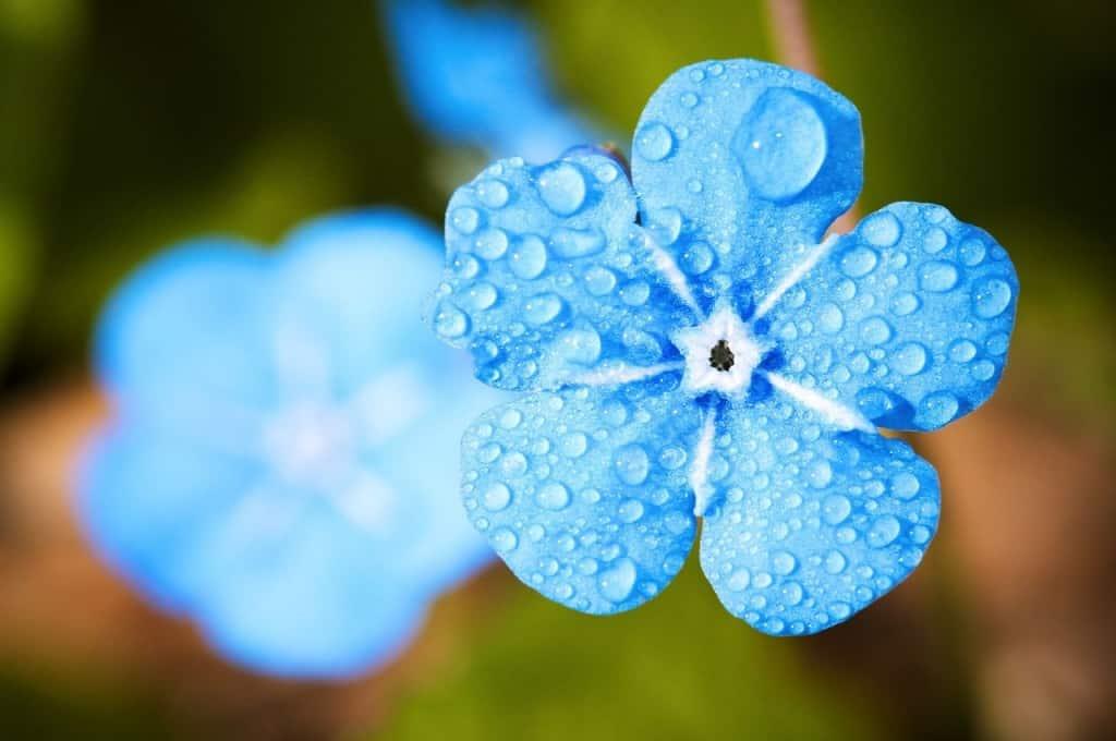 Vergissmeinnichtblüte nach einem Regenschauer