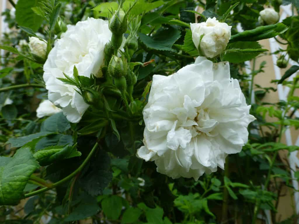 Zwei weiße Blüten der Alba-Rose